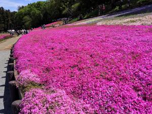 秩父・羊山公園の芝桜、少々アップ画像