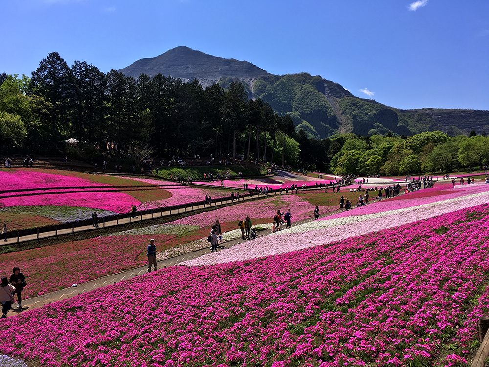 武甲山をバックにした芝桜